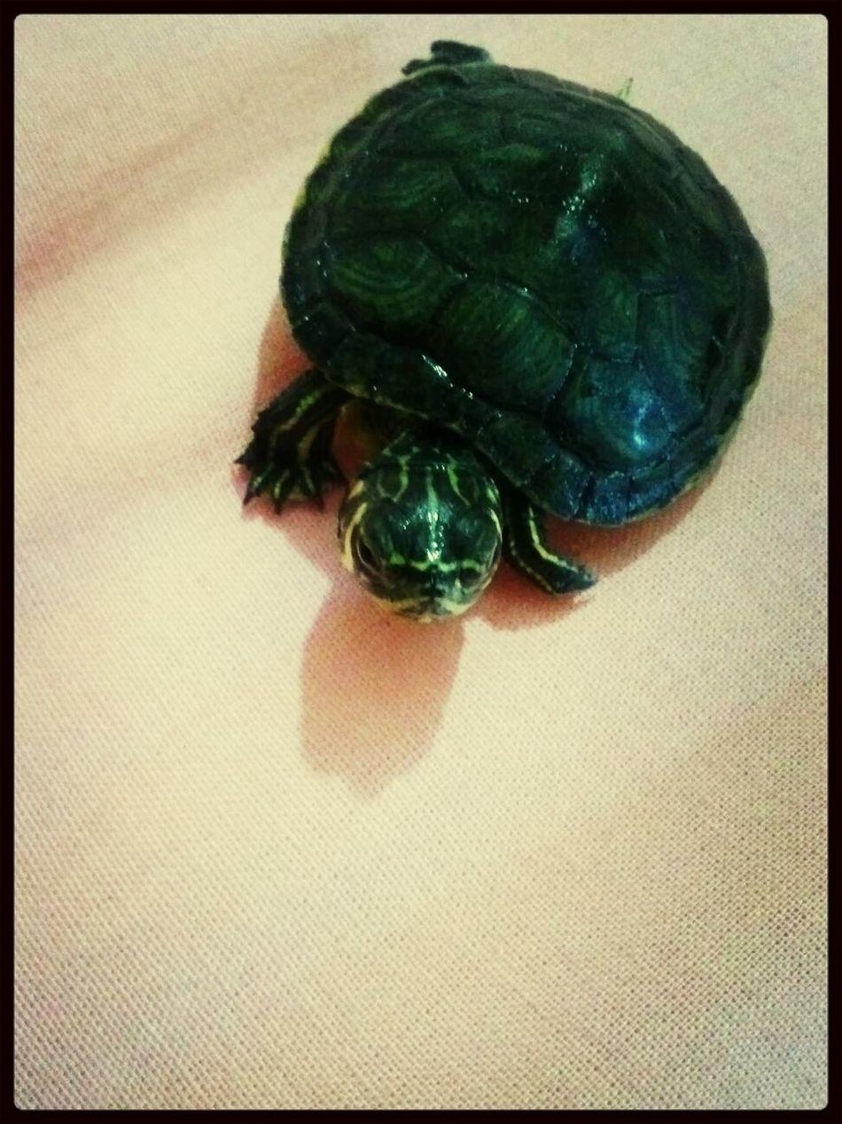My little turtle Bae. *^* Sea Turtle Turtles(: Turtle Cute Pets