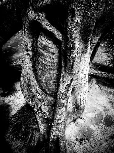 Tree Trunk Tree Bark Close-up Textured  Growth Nature Rough Branch Extreme Close-up Botany Beauty In Nature Day Tranquility Scenics Large WoodLand No People Non-urban Scene Natural Condition Hanging Out Relaxing Monochrome Photography Dramatic Angles