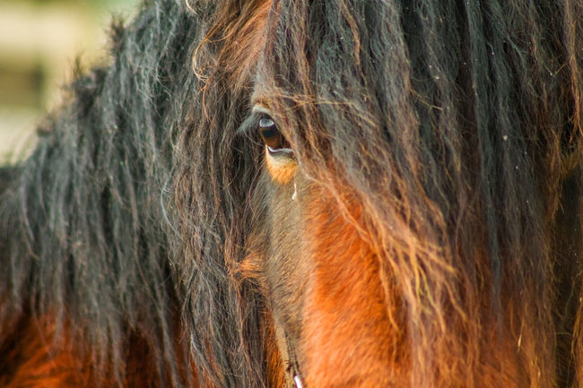 Close up shot of a horse in a field with flecks of snow Animal Body Part Animal Hair Animal Head  Brown Close Up Photography Focus On Foreground Horse Life Horse Mane Horse Photography  Mammal Nature No People Outdoors Selective Focus