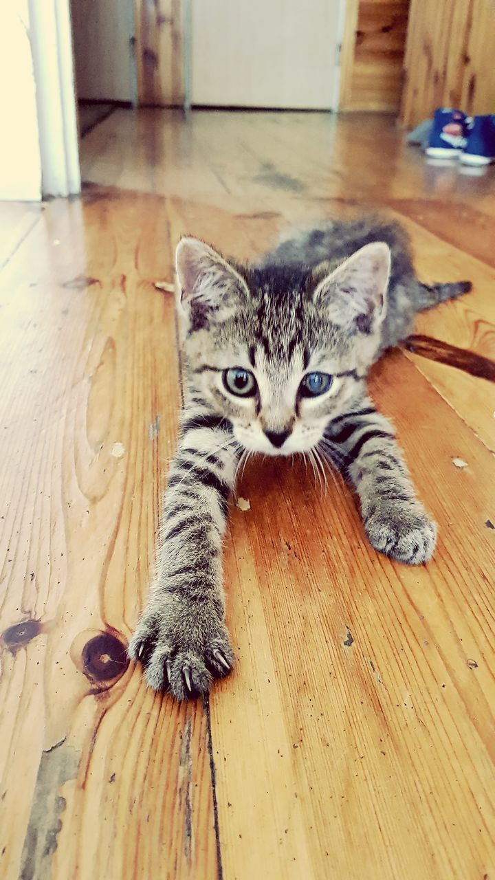 domestic cat, domestic animals, pets, animal themes, mammal, indoors, hardwood floor, looking at camera, wood - material, one animal, portrait, feline, no people, sitting, day, close-up