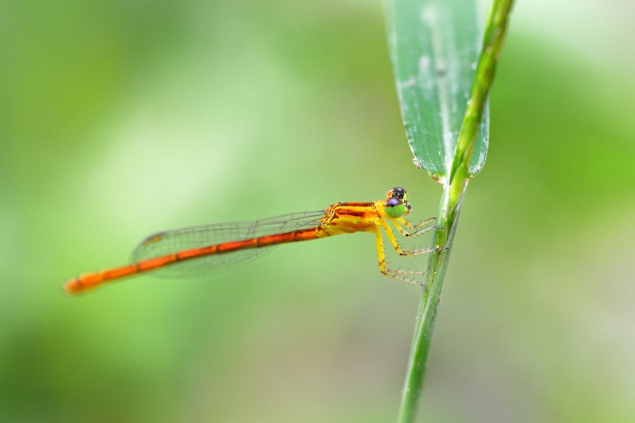 insect, animal themes, one animal, green color, animals in the wild, damselfly, focus on foreground, nature, day, animal wildlife, close-up, outdoors, plant, no people, leaf, beauty in nature