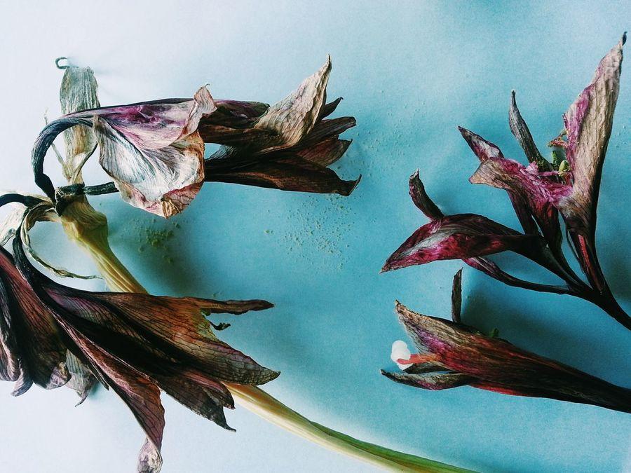 Della bellezza dei fiori sfioritiGarden Lovers Vintage Style Sfioriti Amaryllis Amaryllis Belladonna Vscocam Flower Power Pictureoftheday Beauty In Ordinary Things
