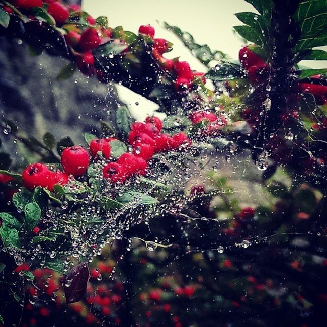 Holly Bush Plant Shrub Spider Web Cobwebs Nature Water Droplets Capture Dew Scottish_Life Cool HTC_One