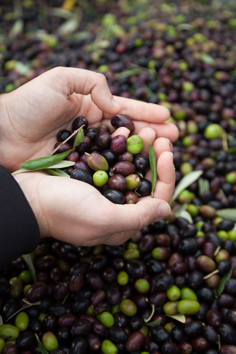 Agriculture Close-up Food Freshness Fruit Grape Hands Healthy Eating Holding Human Body Part Human Hand Lifestyles Olive Oil Olive Tree Olives Olives Leafs Outdoors