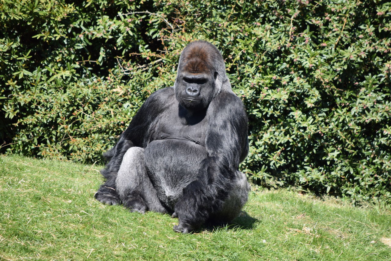 gorilla Animal Themes Animal Wildlife Animals In The Wild Ape Beauval Chimpanzee Day Female Gorilla Gorille Grass Green Green Color Male Mammal Monkey Nature No People One Animal Outdoors Power Primate Sitting Strong Zoo