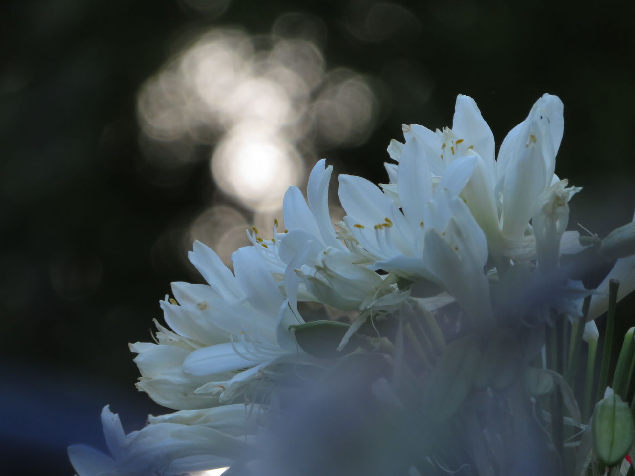 Evening agapanthus 🌄 Agapanthus Flower Nature No Edit No Filter Beauty In Nature White SunsetPlant Sunlight, Shades And Shadows Macro Fragility Flower Collection Close-up Flower Head Freshness Bokeh No People In My Garden