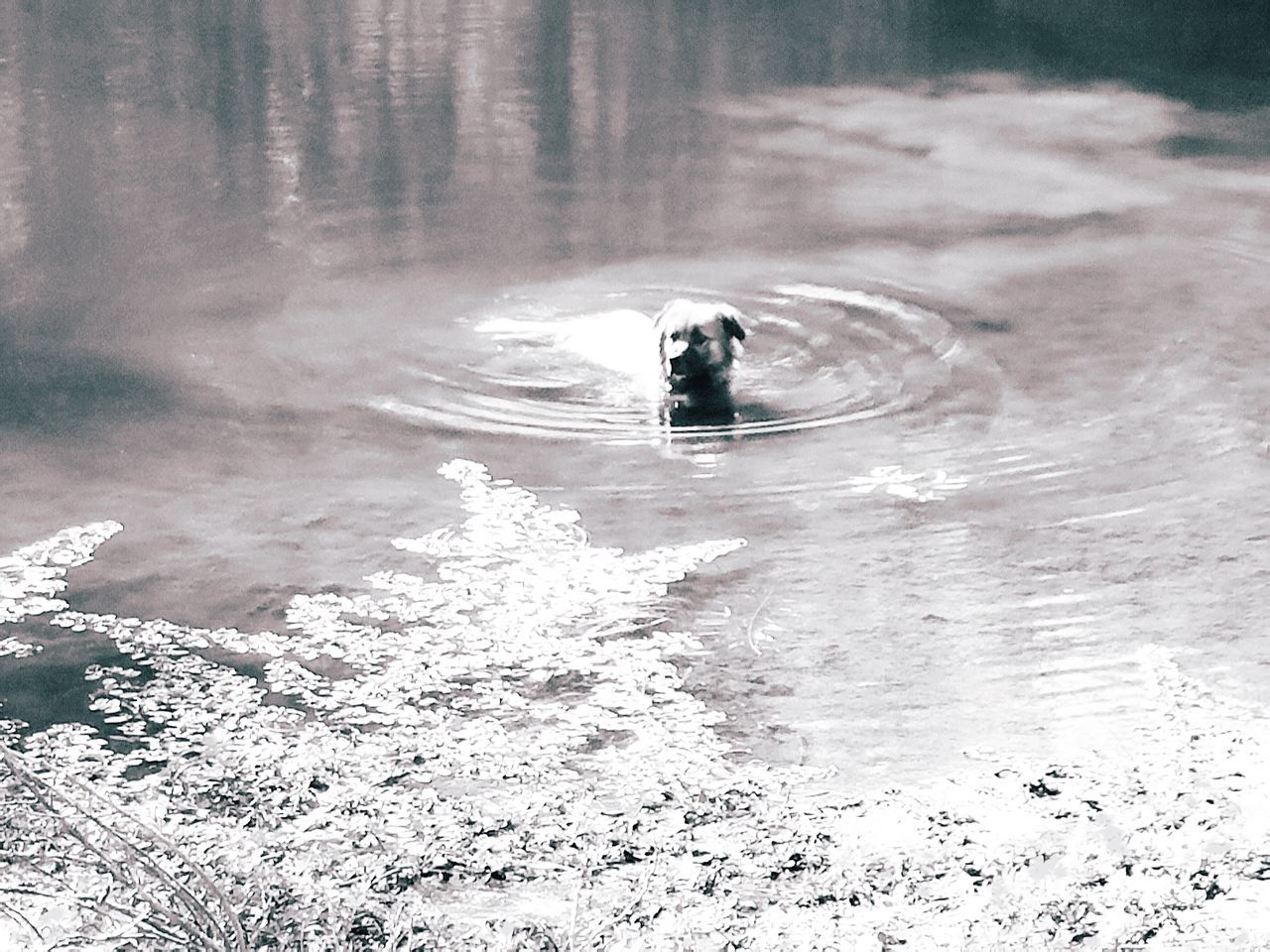 Outdoors Dog Dog Swimming Beauty In Nature Meditation Simple Check This Out Pattern, Texture, Shape And Form Simplistic Fine Art Photography Simple Moments Pond Country Animal Swimming Cooling Off