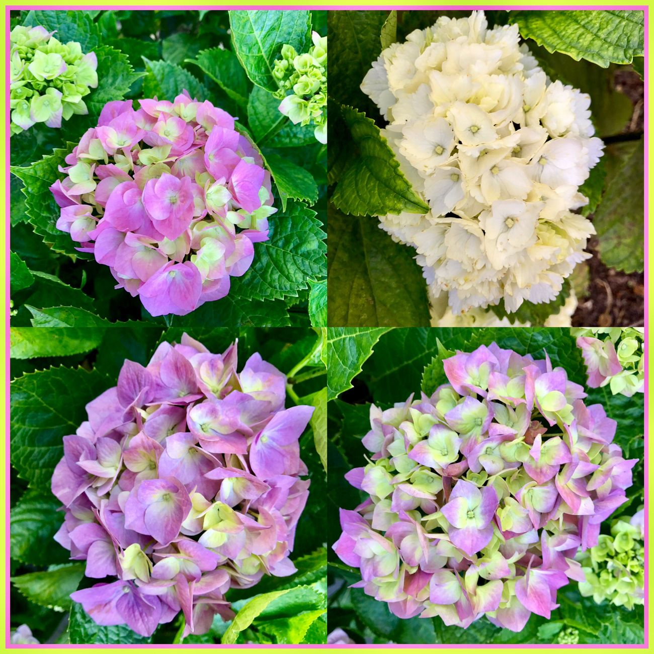 hydrangeas in full bloom 🌸🌺🌸 Hydrangeas Flowers Hydrangerasbush FullBlooom Flowercollage