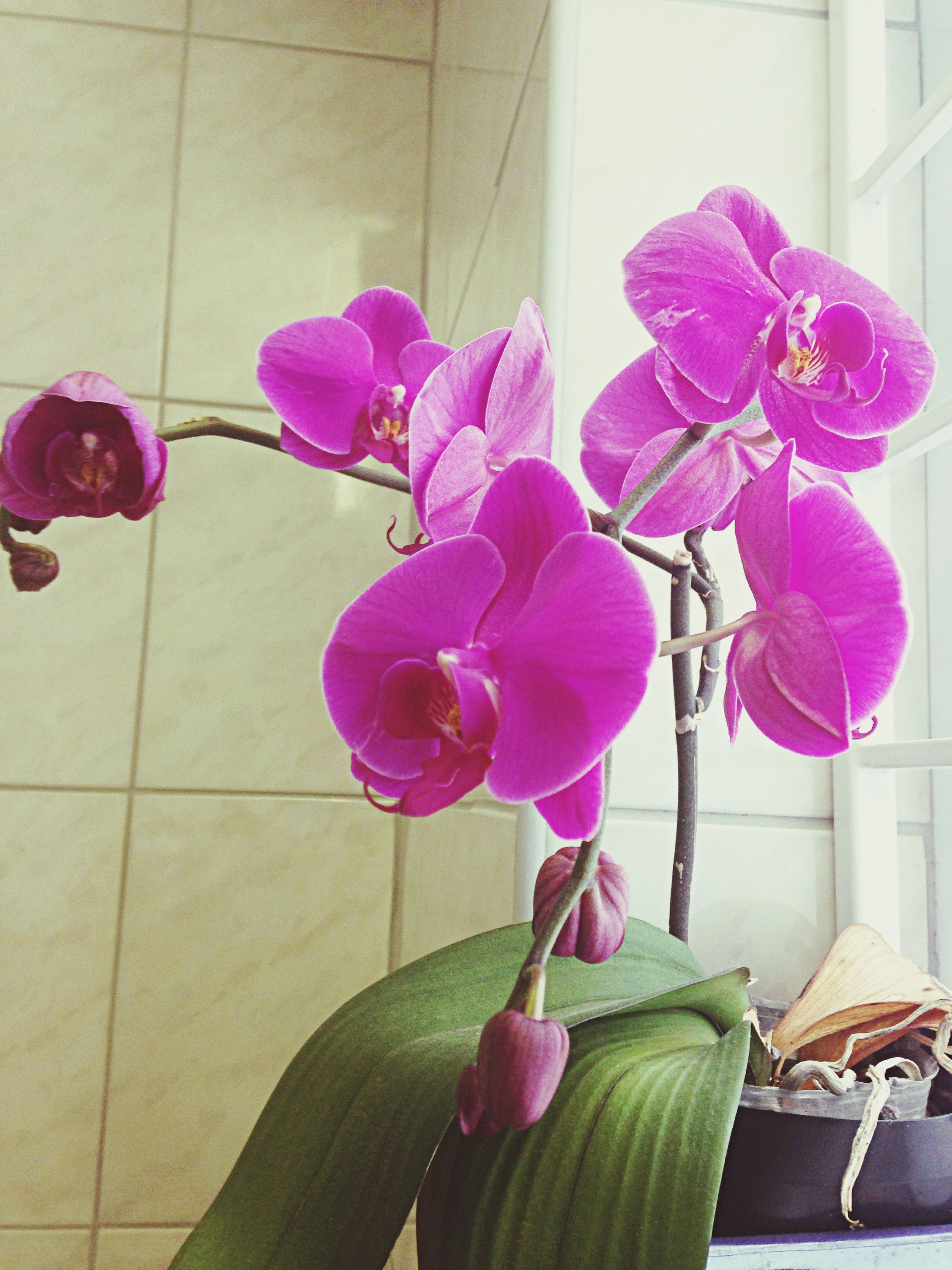 flower, fragility, indoors, freshness, petal, flower head, vase, plant, purple, growth, beauty in nature, leaf, potted plant, flower arrangement, tulip, pink color, stem, wall - building feature, nature, table