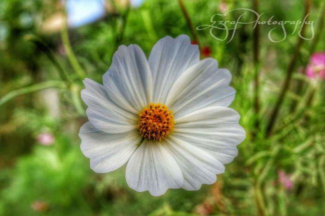 """Freshflower """" Photowalk EyeEmbeautifulflowers Eyeeminyourheart Ilovephotography White Flower"""