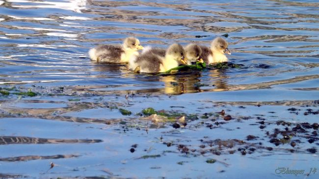 Animal Themes Ducklings Are Nature No People Outdoors Siblingsday Tranquility Young Animal Water