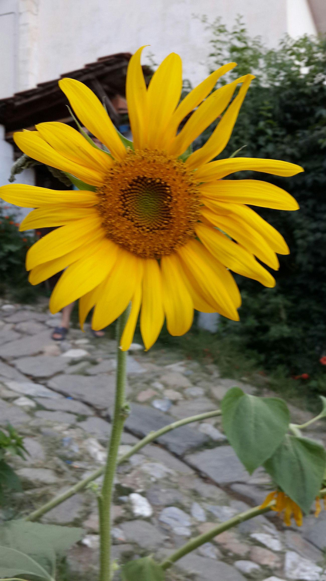 İnsan olmanın rengi, ırkı, dili, dini yoktur, olamaz da... Tıpkı günebakanlar gibi, yüzünü güneşe dònmüş, aydınlık olmasını umduğumuz ve hayal ettiğimiz güzel ülkemin gençlerine yapılan katliam için gerçekten üzgünüm.. Nature Nature_collection EyeEm Nature Lover Sunflower Mothernaturegifts The View From My Window Ineedamiracleformylostsoul Landscape_photography Flower Collection Flowerporn