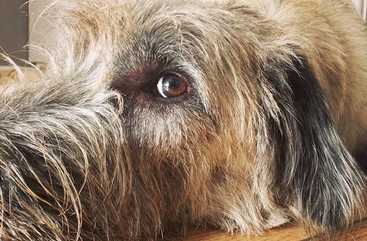 Sleepy Morning Morning Sleepyhead Sleepy Eyes Dogs_of_instagram Dogs TooEarly TooCute Wolfhound Irishgirl Ireland Picoftheday Friend Walker