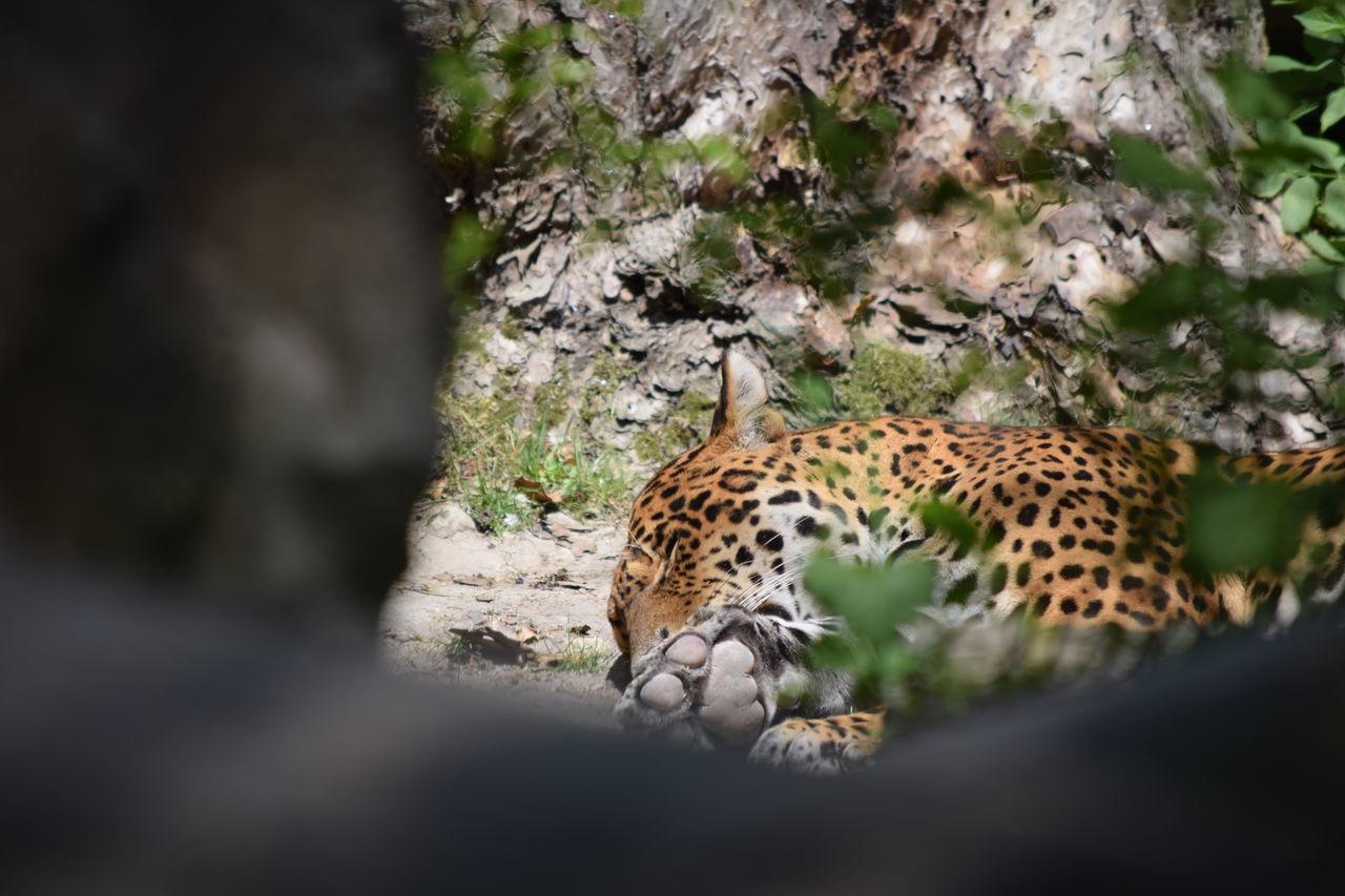 jaguar Animal Themes Animal Wildlife Animals In The Wild Cheetah Day Feline JAGUAR Jaguars Leopard Mammal Nature No People One Animal Outdoors Safari Animals