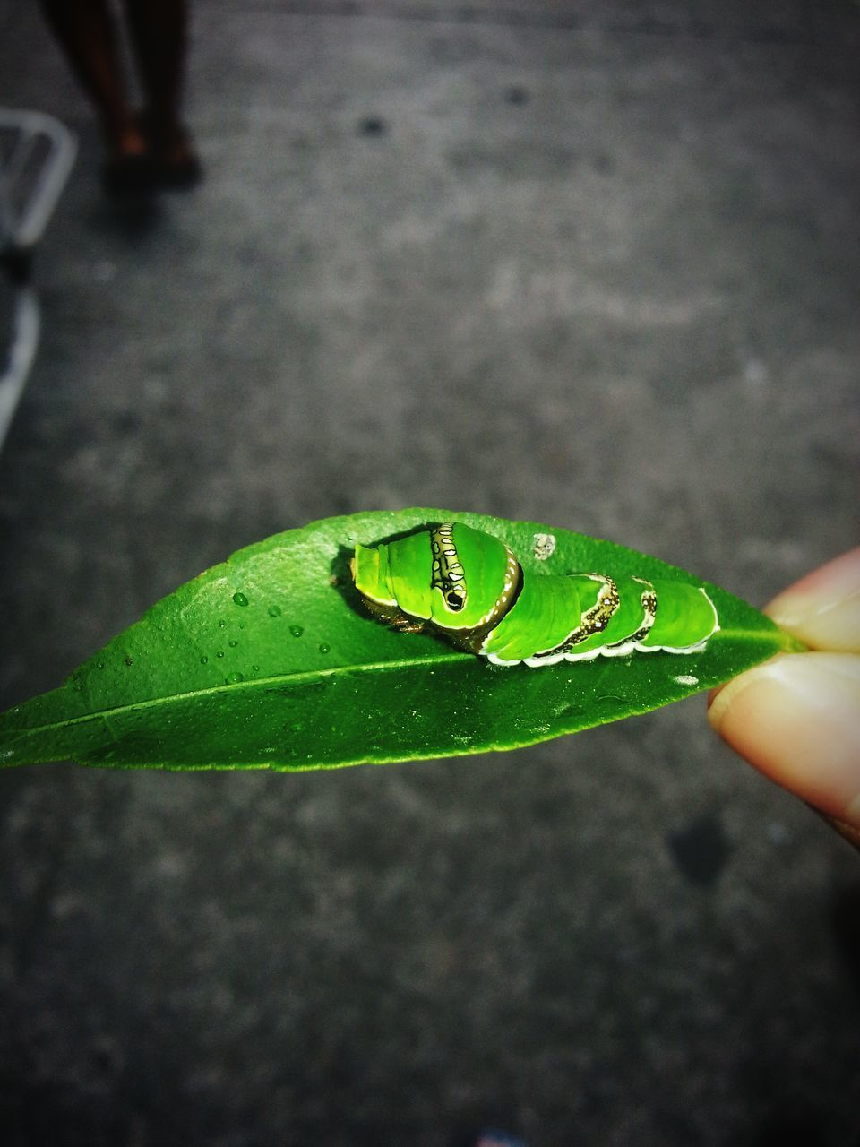 animal themes, animals in the wild, one animal, insect, leaf, close-up, unrecognizable person, human body part, green color, real people, outdoors, day, human hand, nature, one person, animal wildlife, people