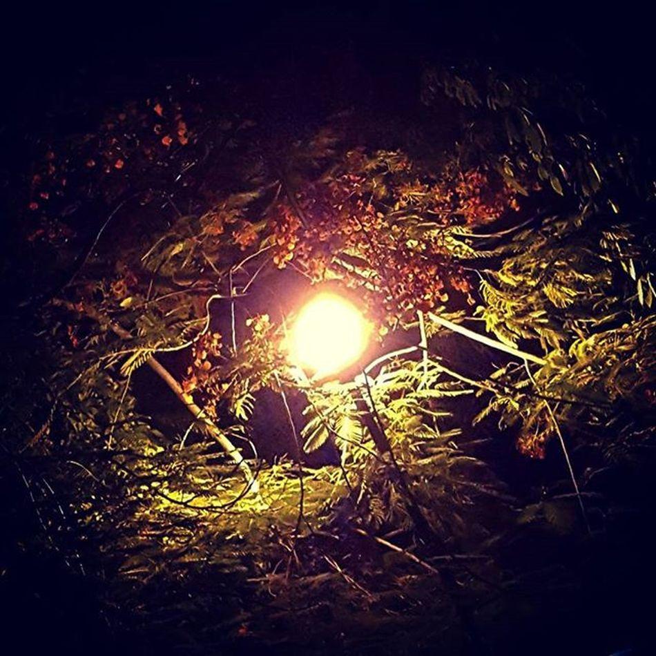 Mini Galaxia . El Farol parece la Estrella de una galaxia en formación. Light Tree Flower Night Green Branches Ramas Hojas Leaves Nightshoot Night Lamplight Streetlamp Lamp Star Bigbang Astronomy Astronomia Cinturon Sun Pg_mistica_y_romance Pg_misticayromance