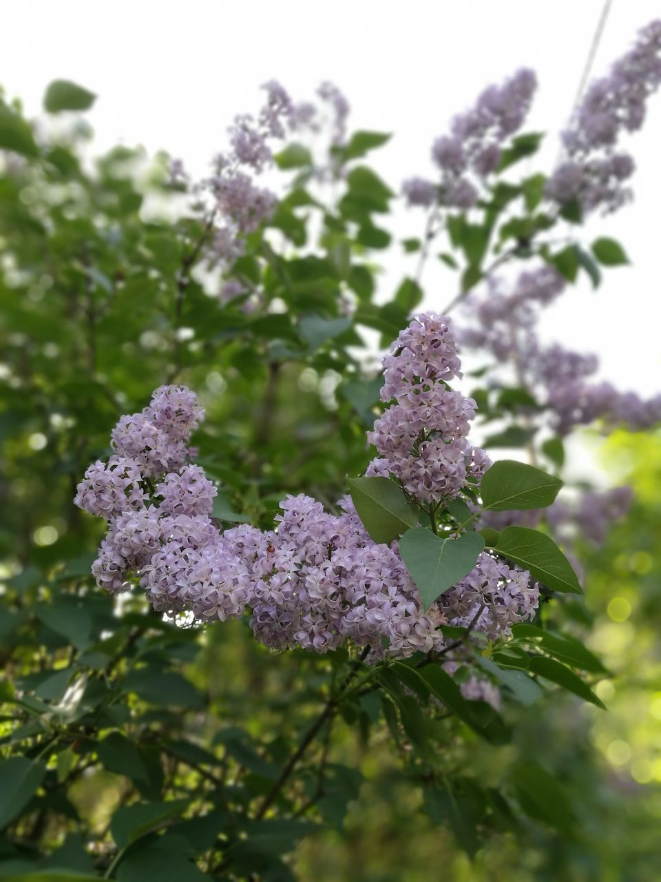 nature, flower, beauty in nature, growth, plant, no people, focus on foreground, day, fragility, outdoors, freshness, lilac, close-up, flower head, sky