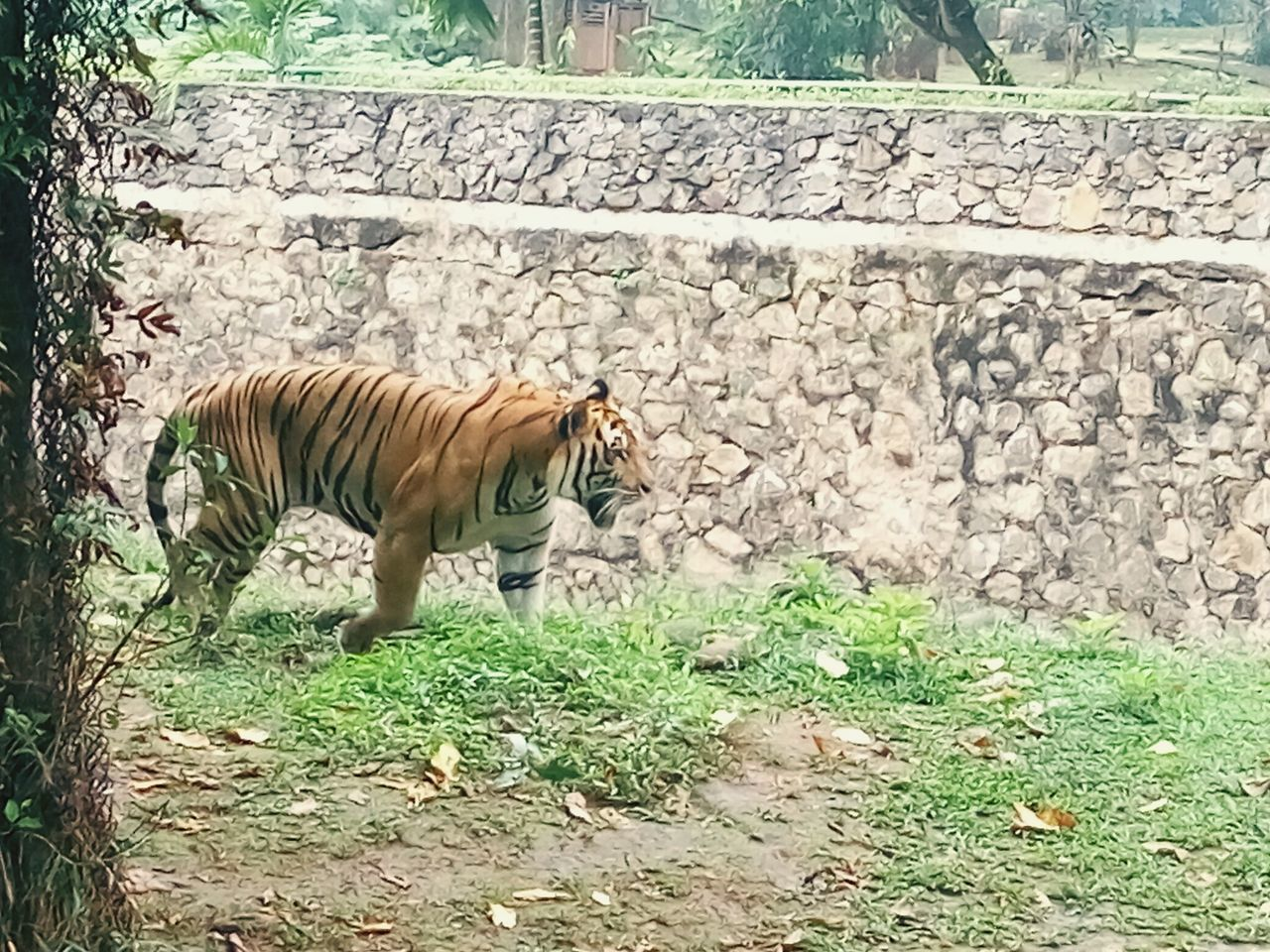 Sumatra Tiger One Animal Animal Themes Animals In The Wild Tiger Outdoors Zoo Animal Wildlife Nature INDONESIA Beauty In Nature