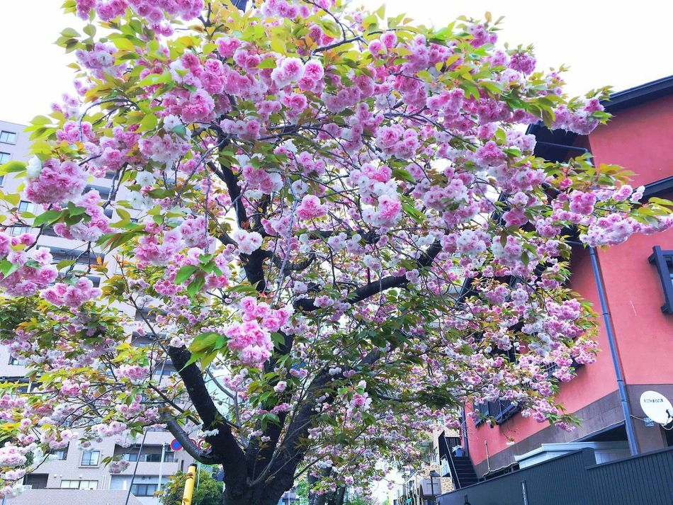 Sakura Yaezakura Flower Pink Color Tree Blossom Growth Low Angle View Fragility Building Exterior Springtime Architecture Built Structure Day Outdoors No People Branch Freshness Beauty In Nature Nature Blooming Close-up EyeEmNewHere