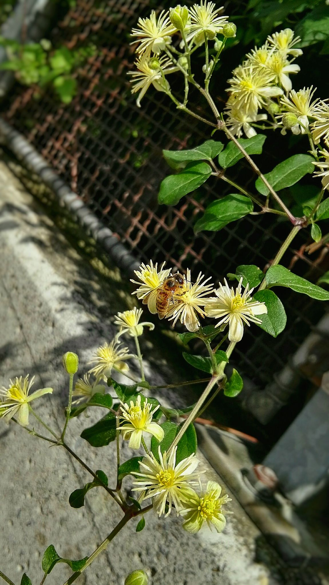 Good Morning : Bee 🐝 on Flower, In Foregound ofBeton, Bees And Flowers, Bee Seeing A Bee On Top of an Blüte : AKA\Blossom. Gitter/Grid & Nature In Background ... Im Hintergrund ,,. Im Vorbeifahren ... Beton überall