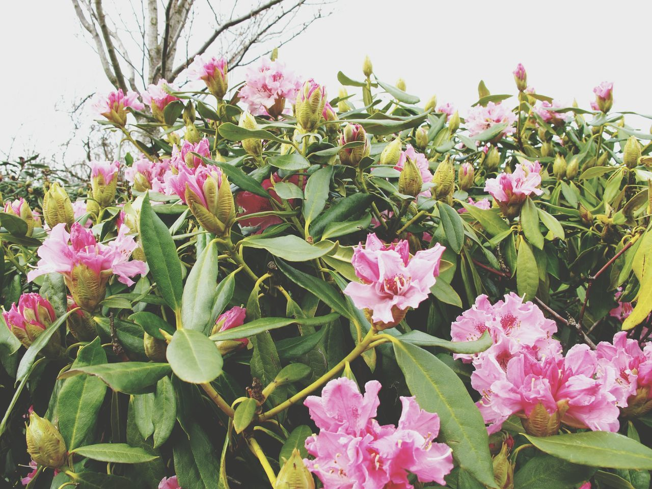 Spring Springtime Pink Pink Flowers Flowers Flowerporn Flower Bush Bushes Rhododendron Rhododendrons Garden Showcase April Haworth Check This Out Floral Florals Flower Power Enjoying Life Trees Nature Landscape Landscape_Collection Landscapes F1