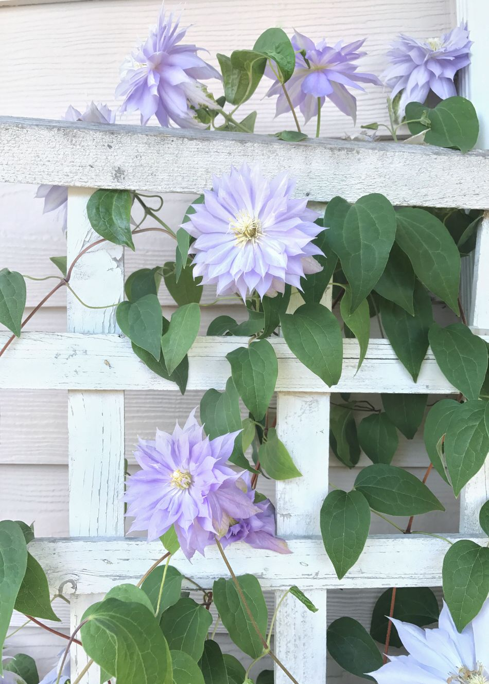 Purple clematis on a trellis. Clematis Flower Clematis Trellis Flower Petal Bright White Flower Head Purple No People Verticle Leaf Growth Plant