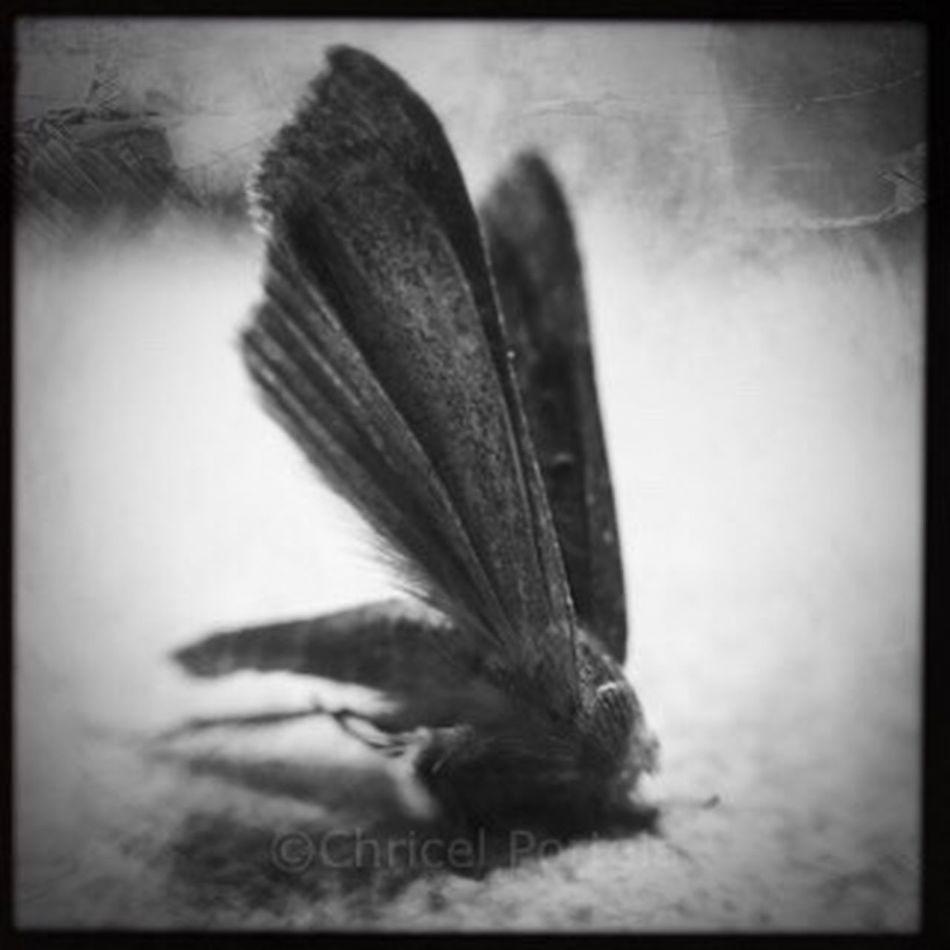 Moth Close-up Fragility death bug Blackandwhite Bijoucep Noir Et Blanc