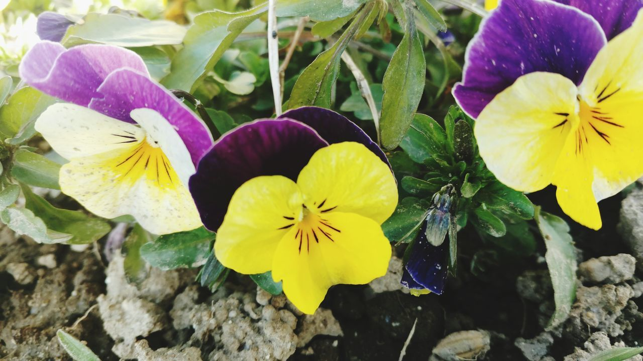 flower, petal, fragility, freshness, beauty in nature, yellow, flower head, growth, nature, purple, pansy, day, no people, close-up, plant, outdoors, blooming