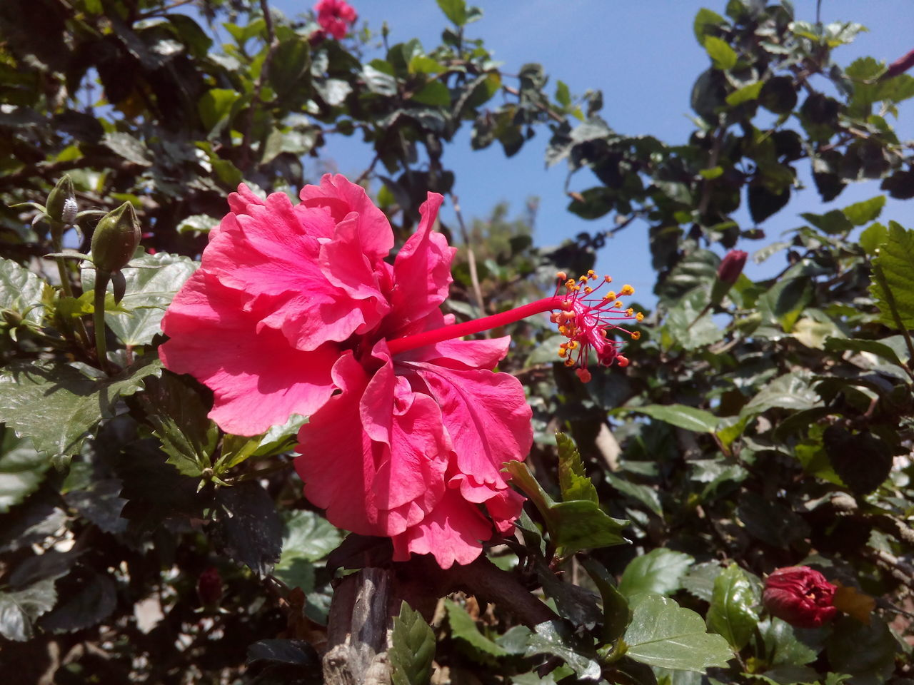 flower, growth, fragility, petal, nature, beauty in nature, pink color, freshness, flower head, day, no people, blooming, outdoors, plant, sunlight, leaf, hibiscus, close-up, periwinkle