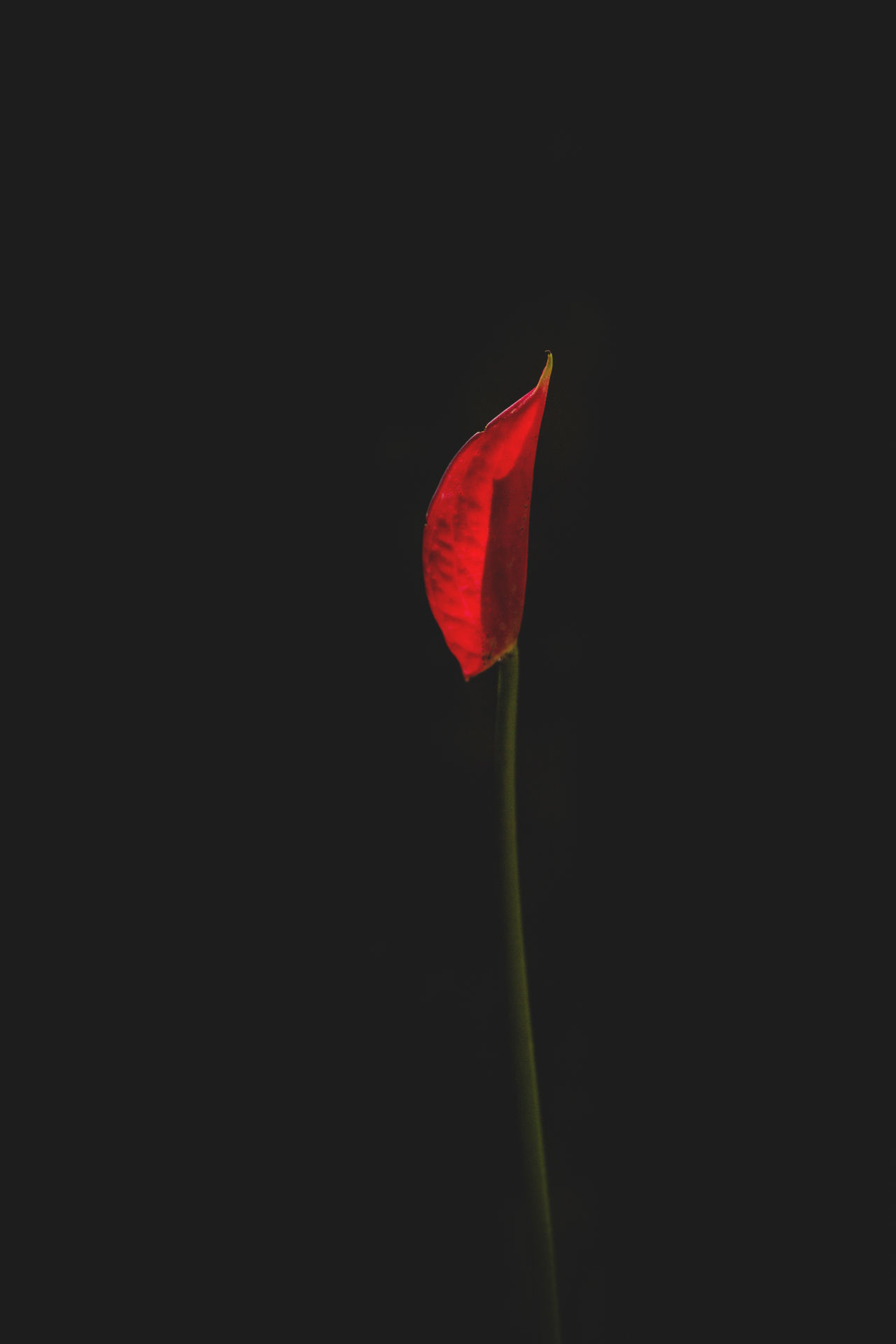 Black Background Budding Budding Flower Composition Dark EyeEm Best Shots EyeEm Nature Lover Flag Flower Fluttering Fragility Fresh Identity Natural Light Nature Red Red Red Flower Simplicity Springtime Tranquility