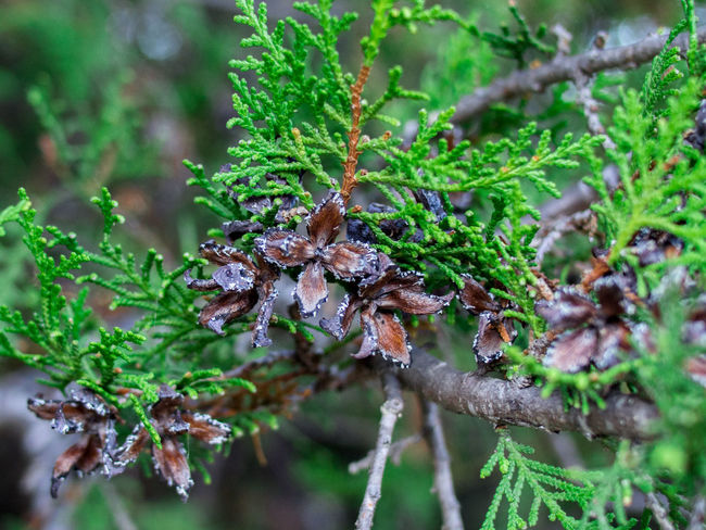 Beauty In Nature Botany Branch Brown Cone Crimea Day Focus On Foreground Green Green Color Leaves Macro Nature Non-urban Scene Outdoors Plant Platicladus Sevastopol  Tree