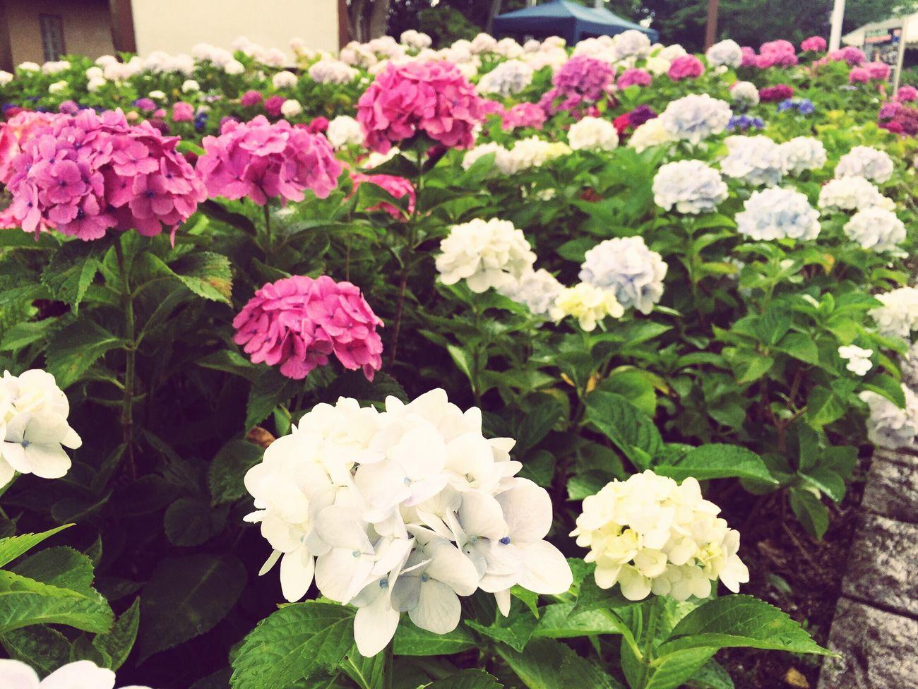 若松あじさい祭り Flower Plant Fragility Beauty In Nature Nature Freshness Growth Petal Flower Head Leaf Day Blooming Green Color Outdoors No People Close-up Hydrangea Fukuoka Fukuoka,Japan Kitakyushu