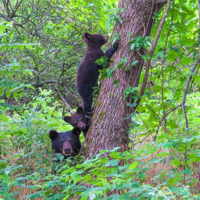 Black bear family. Black Bear Tree Bear Cubs Nature