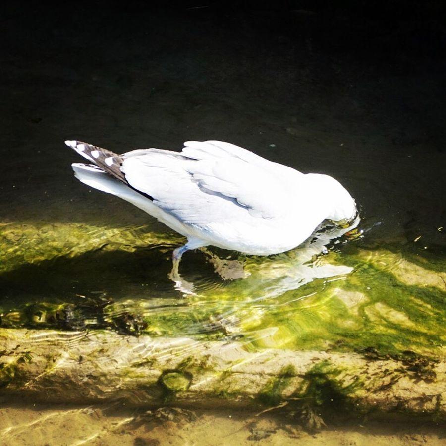 Beak in the water Animal Themes Bird Animals In The Wild One Animal Water White Color Animal Wildlife Reflection Beak Water Bird No People Lake Egret Outdoors Day Nature Swan Seagull