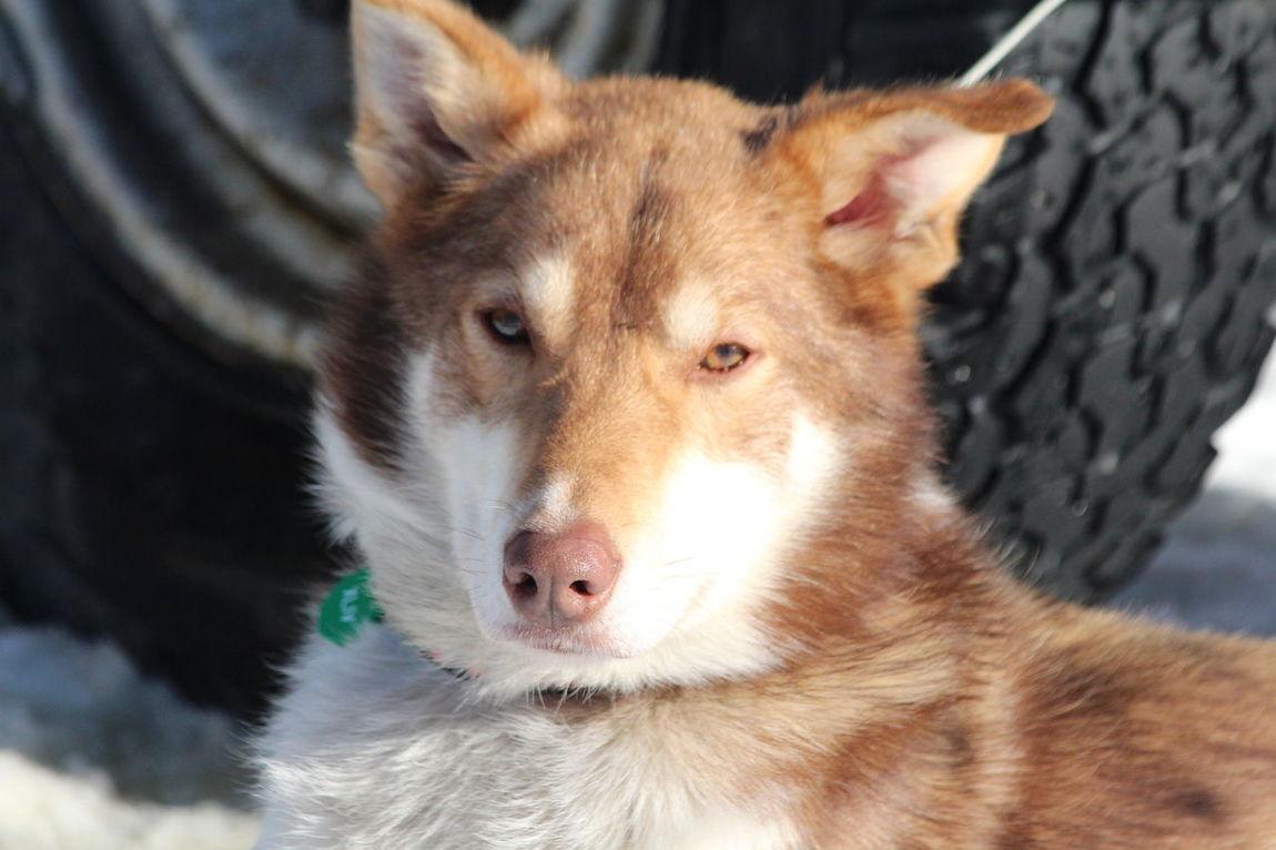Iditarod 2016 Dog Dog Race Dogs Dogs Dogs Dogs Husky Iditarod Iditarod Dog Race Iditarod Dogs