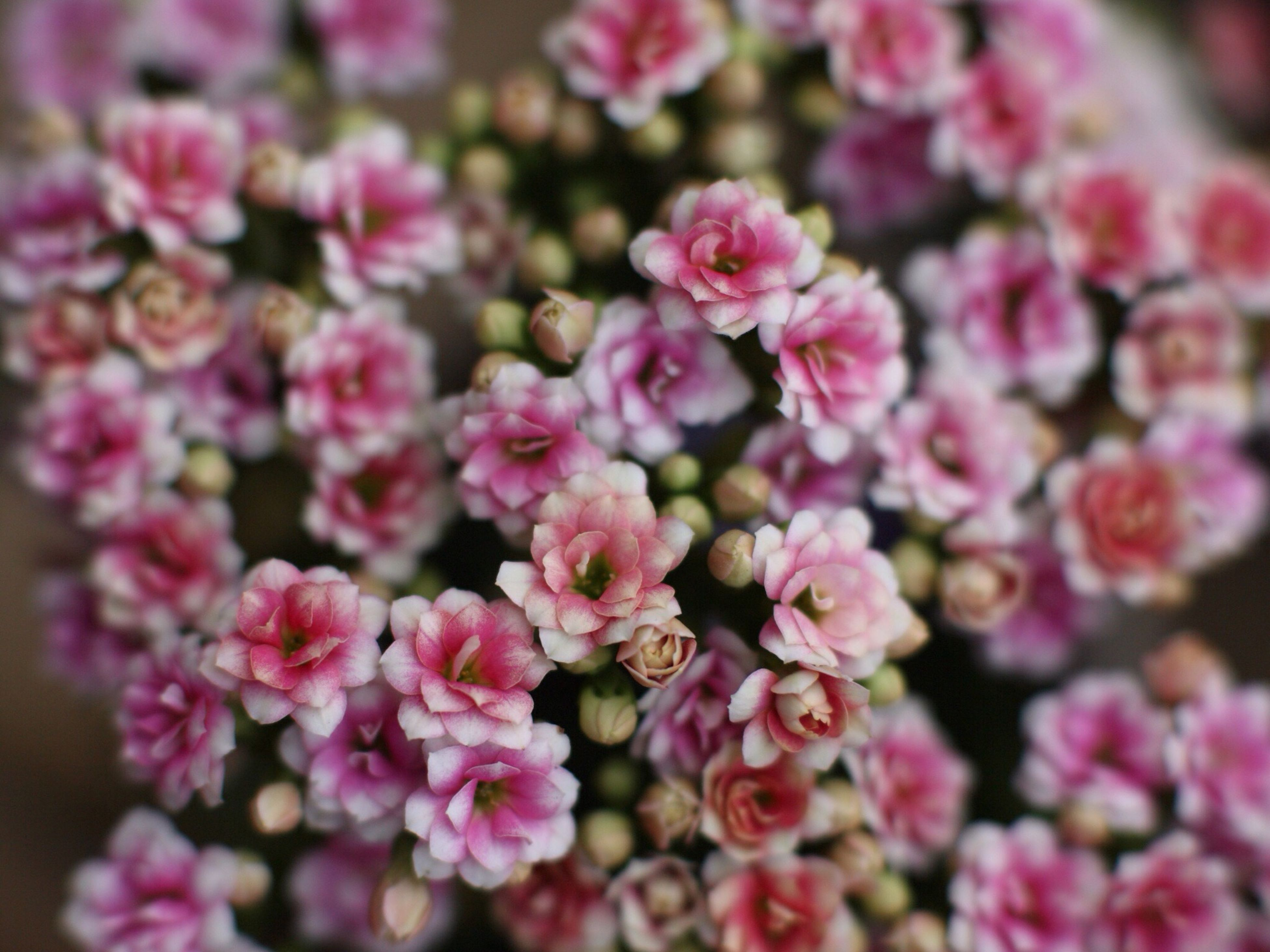 flower, freshness, petal, fragility, beauty in nature, growth, pink color, close-up, flower head, selective focus, nature, blooming, focus on foreground, abundance, plant, in bloom, pink, blossom, full frame, no people