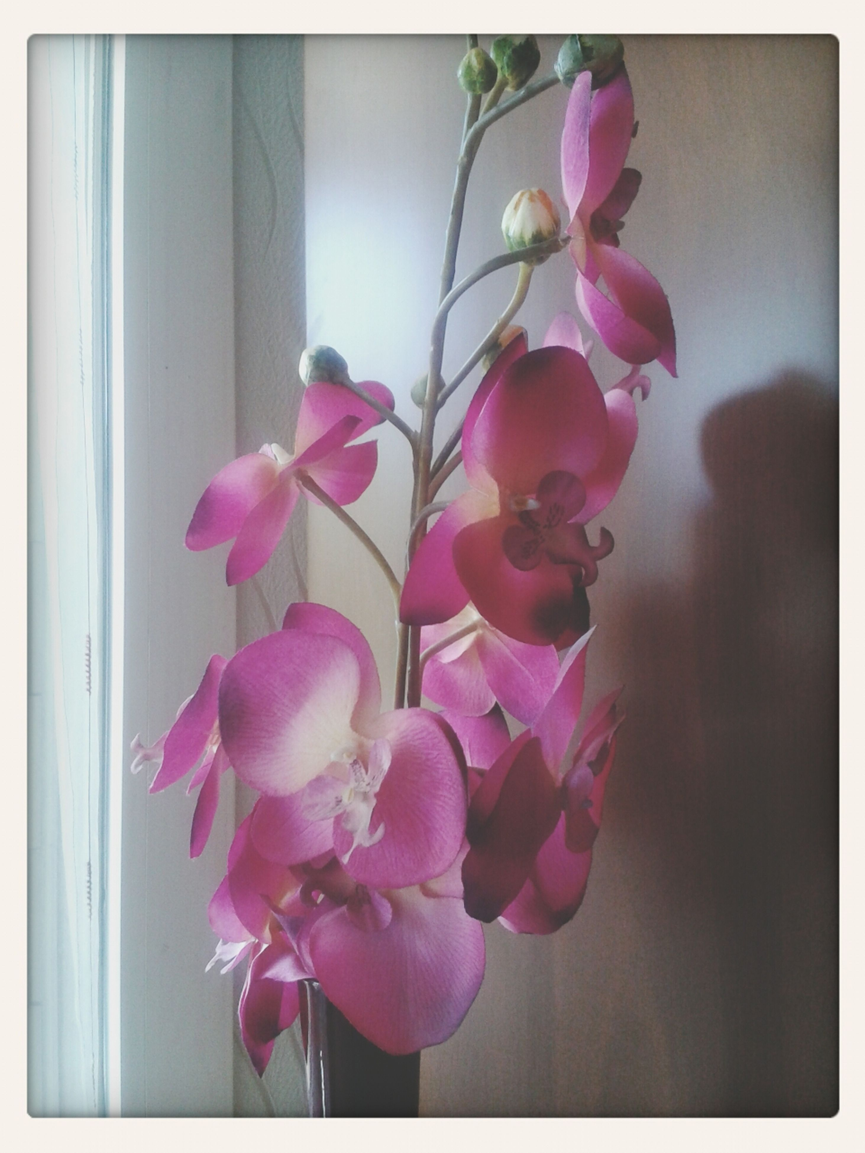 flower, transfer print, fragility, freshness, petal, pink color, indoors, auto post production filter, growth, beauty in nature, flower head, close-up, plant, nature, vase, home interior, stem, blooming, wall - building feature, blossom