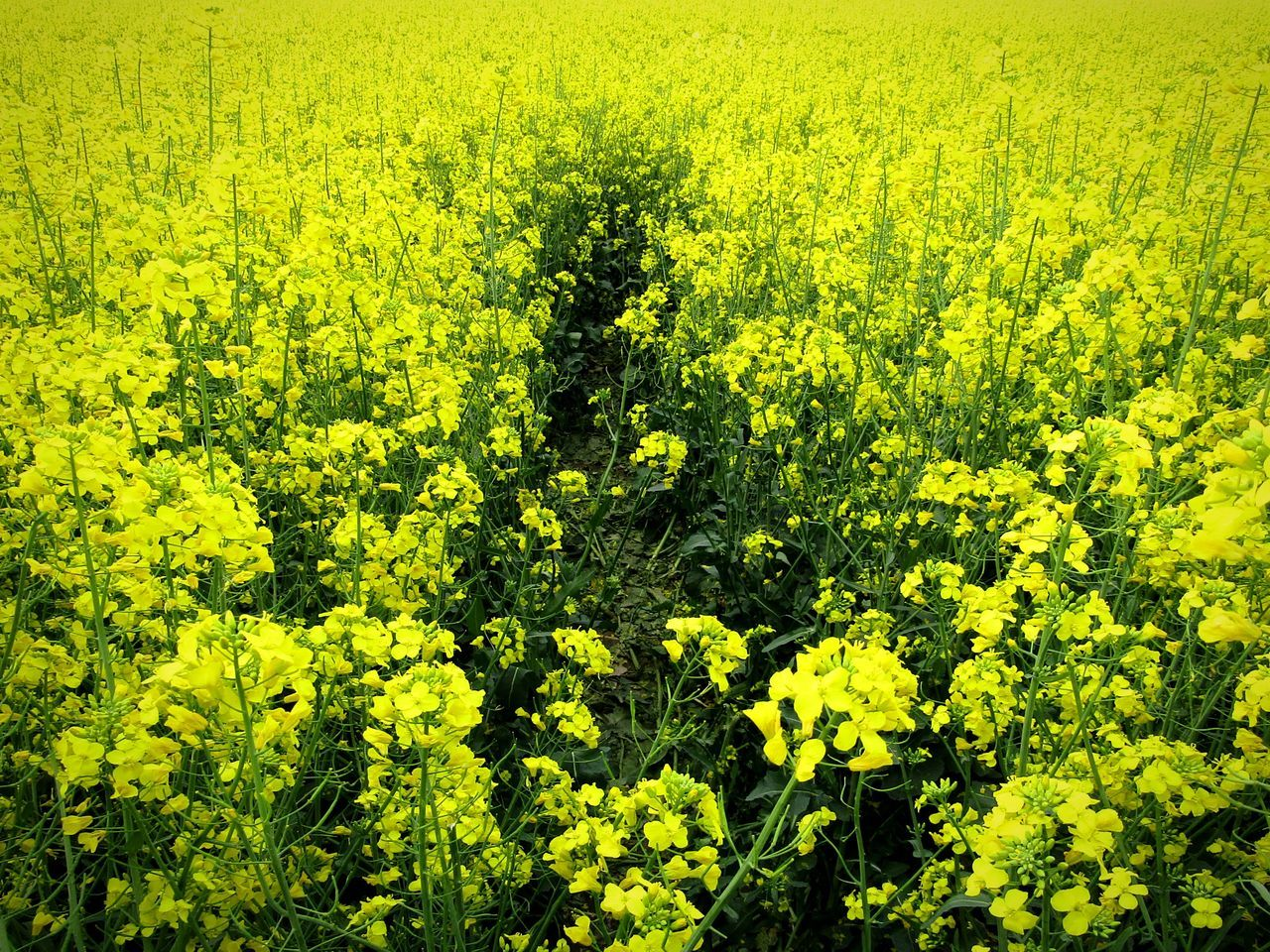 Way Myway Path Forehead Alone Field Yellow Yellowflower Beauty In Nature No People Close-up EyEmNature Nature On Your Doorstep From My Point Of View Capture The Moment Naturephotography Eyemnaturelover Todayphotography Flowerphotography Freshness Outdoors Nature Sunny Entrance