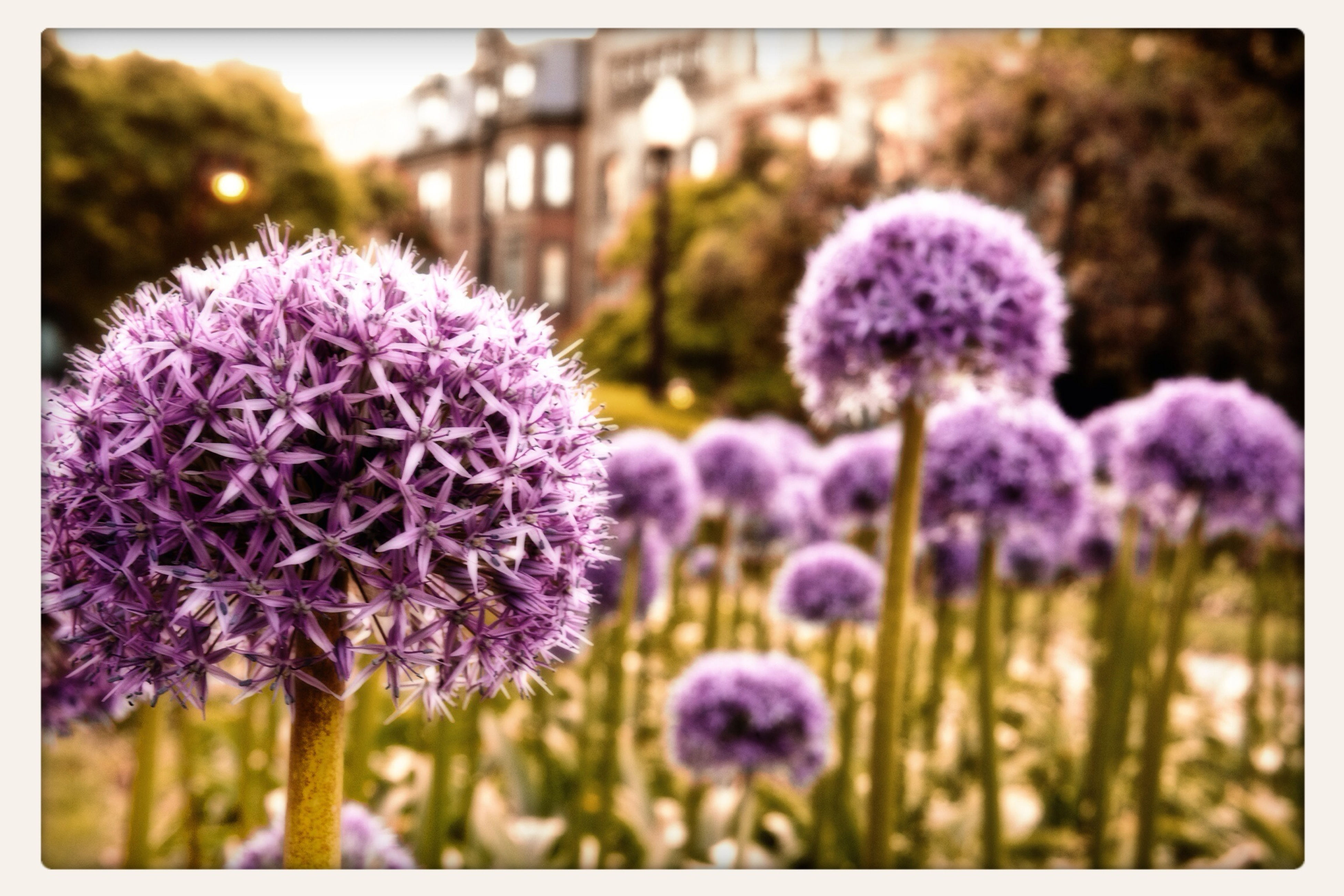 flower, freshness, purple, fragility, growth, flower head, beauty in nature, focus on foreground, petal, close-up, nature, blooming, in bloom, plant, transfer print, auto post production filter, blossom, field, stem, selective focus
