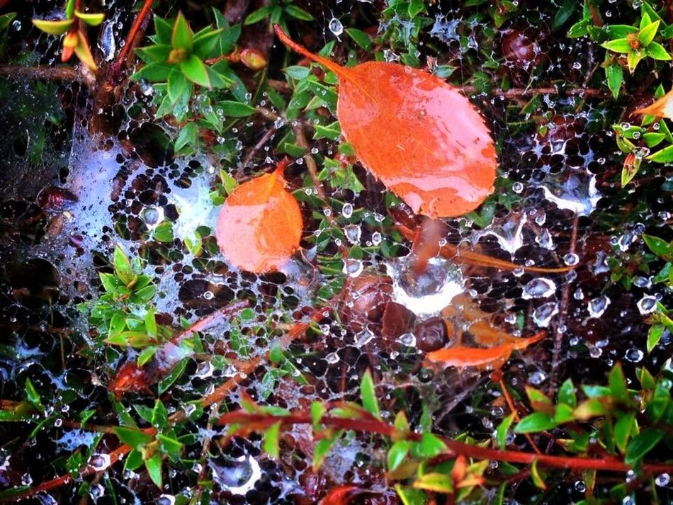 Captured rain drops Raindrops Rain Rainy Days Spider Web Colors Leaves IPhoneography Fall Beauty Morning Dew