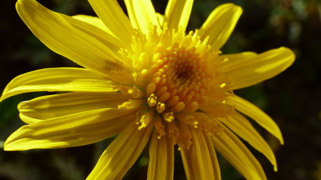The beauty of the plant world, its colors its fragility, without them our world would not be what it is .. Botany Closeup Flower Head Flower Petals Fragility Macro Photography Macro_flower Nature Petals Petals Flutter Softness Yellow Yellow Flower