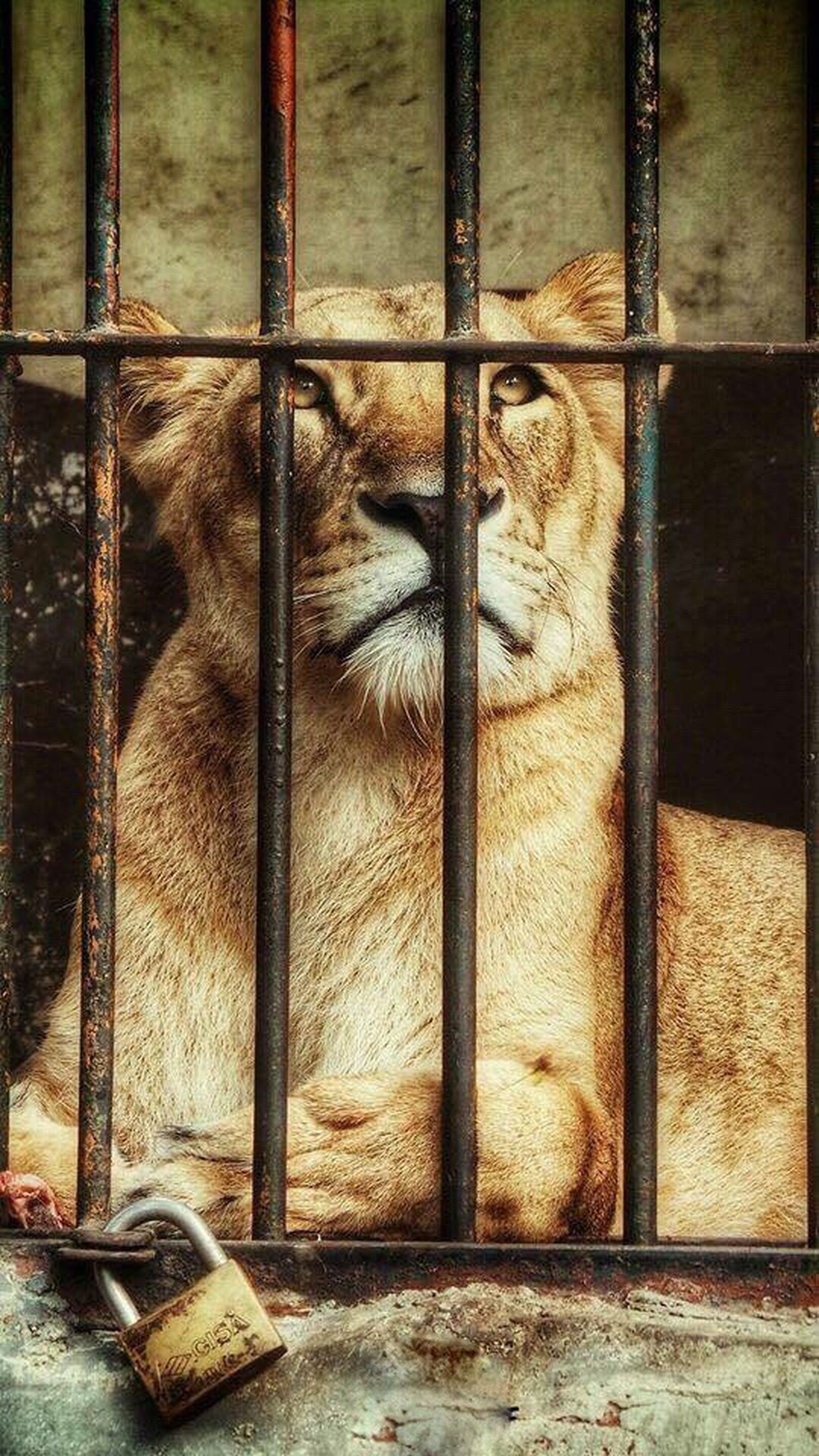 cage, animals in captivity, animal themes, one animal, zoo, metal grate, metal, mammal, no people, day, captivity, trapped, animals in the wild, animal wildlife, prison, indoors, security bar, prison bars, close-up