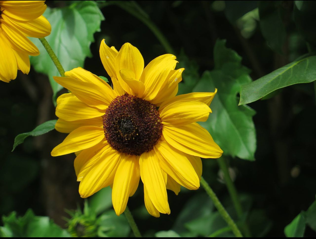 flower, fragility, yellow, petal, growth, nature, freshness, beauty in nature, flower head, plant, blooming, pollen, outdoors, no people, day, close-up, focus on foreground, green color, black-eyed susan