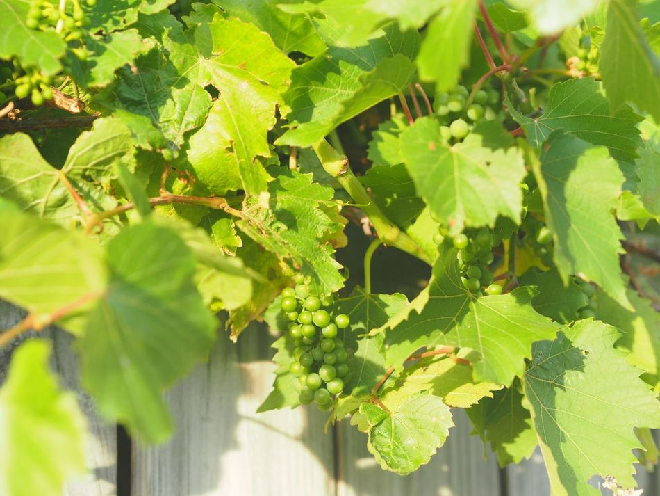 Leaf Growth Green Color Nature Grape Close-up Fruit Vineyard Plant Freshness Vine Agriculture No People Outdoors Winemaking Day Healthy Eating Beauty In Nature Fence Neighbours Young Grapes Grapevine New Beginnings Youth
