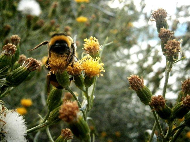 Enjoying Life Polinización Abejorro Vida Naturaleza Amarillo Fotografia Sur De Chile