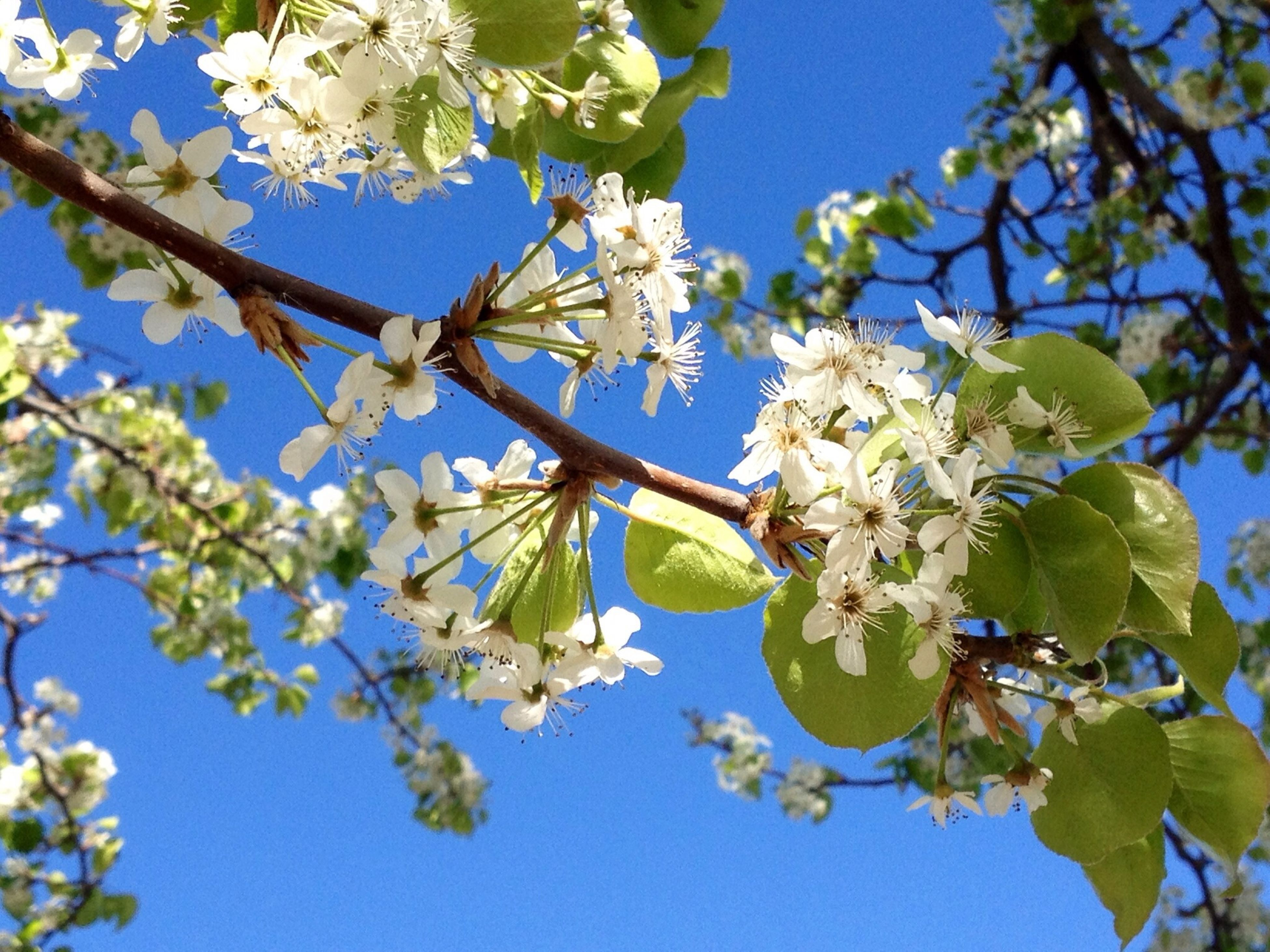 branch, flower, low angle view, tree, freshness, growth, clear sky, fragility, nature, beauty in nature, blossom, cherry blossom, leaf, blue, cherry tree, blooming, twig, white color, springtime, in bloom