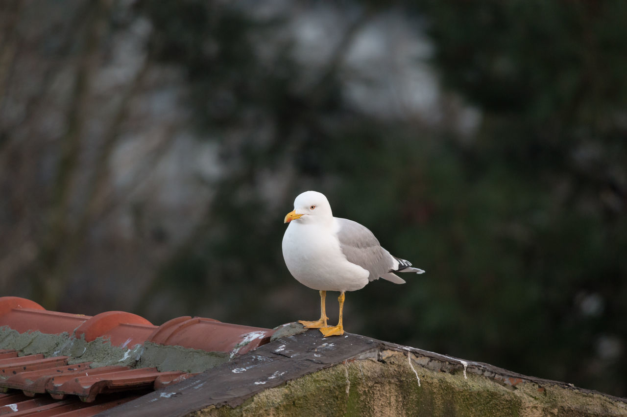 Seagull on Rooftop. Thinking Before Sleeping. Animal Themes Animal Wildlife Animals In The Wild Bird Bokeh Close-up Focus On Foreground Istanbul Nature No People One Animal Outdoors Perching Roof Rooftop Seagull Urban Urban Exploration Urban Living White Color ıstanbul