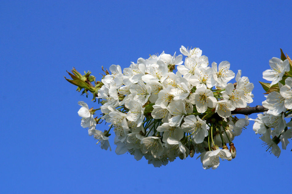 Branch Beauty In Nature Beginning Bloom Blooming Blossom Earliest Easter Flora Flower Flower Head Flowering Freshness Fruit Garden Growth Nature Petal Purity Seasons Serenity Softness Spring Tree White Color
