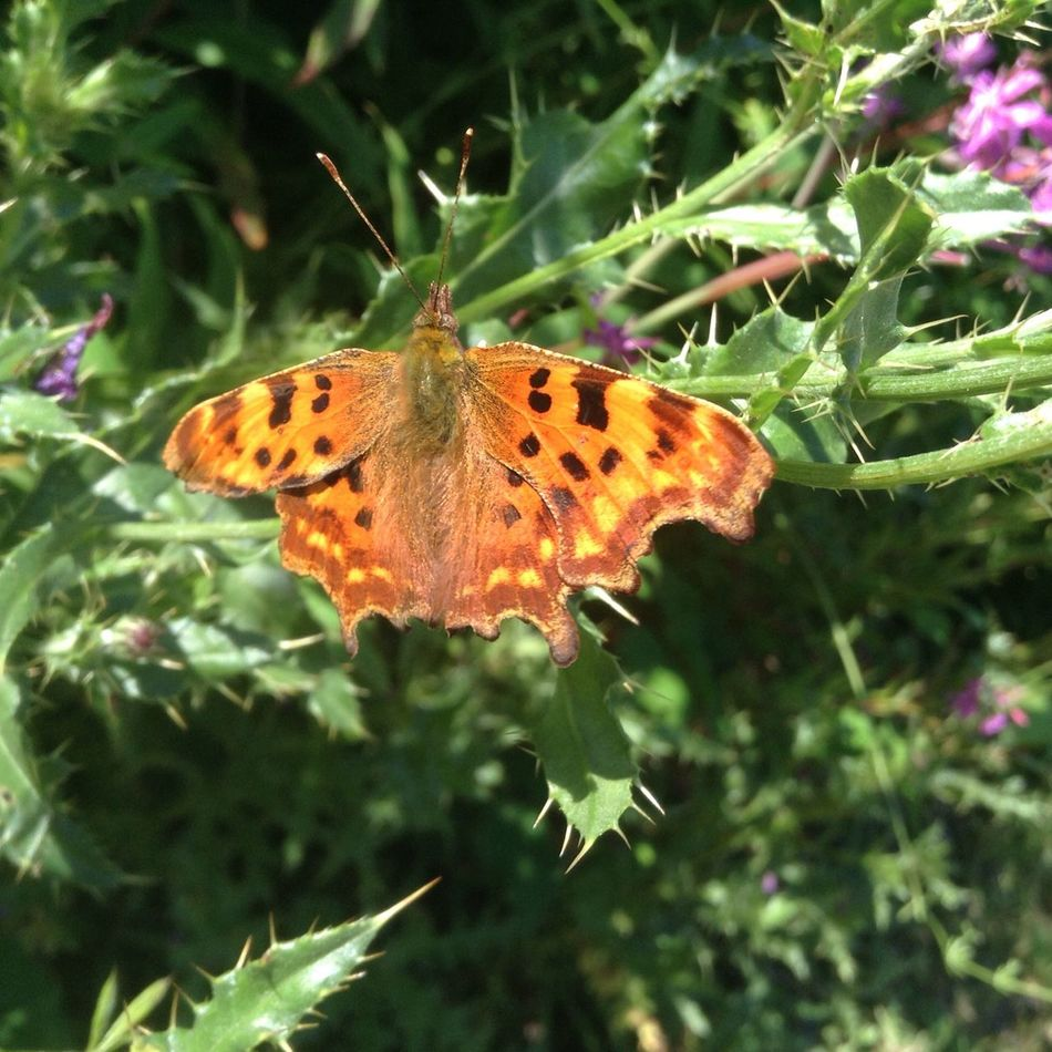 Comma Butterfly! LauraLightbodyPhotography LauraLightbodysnaps Photographs By LauraL