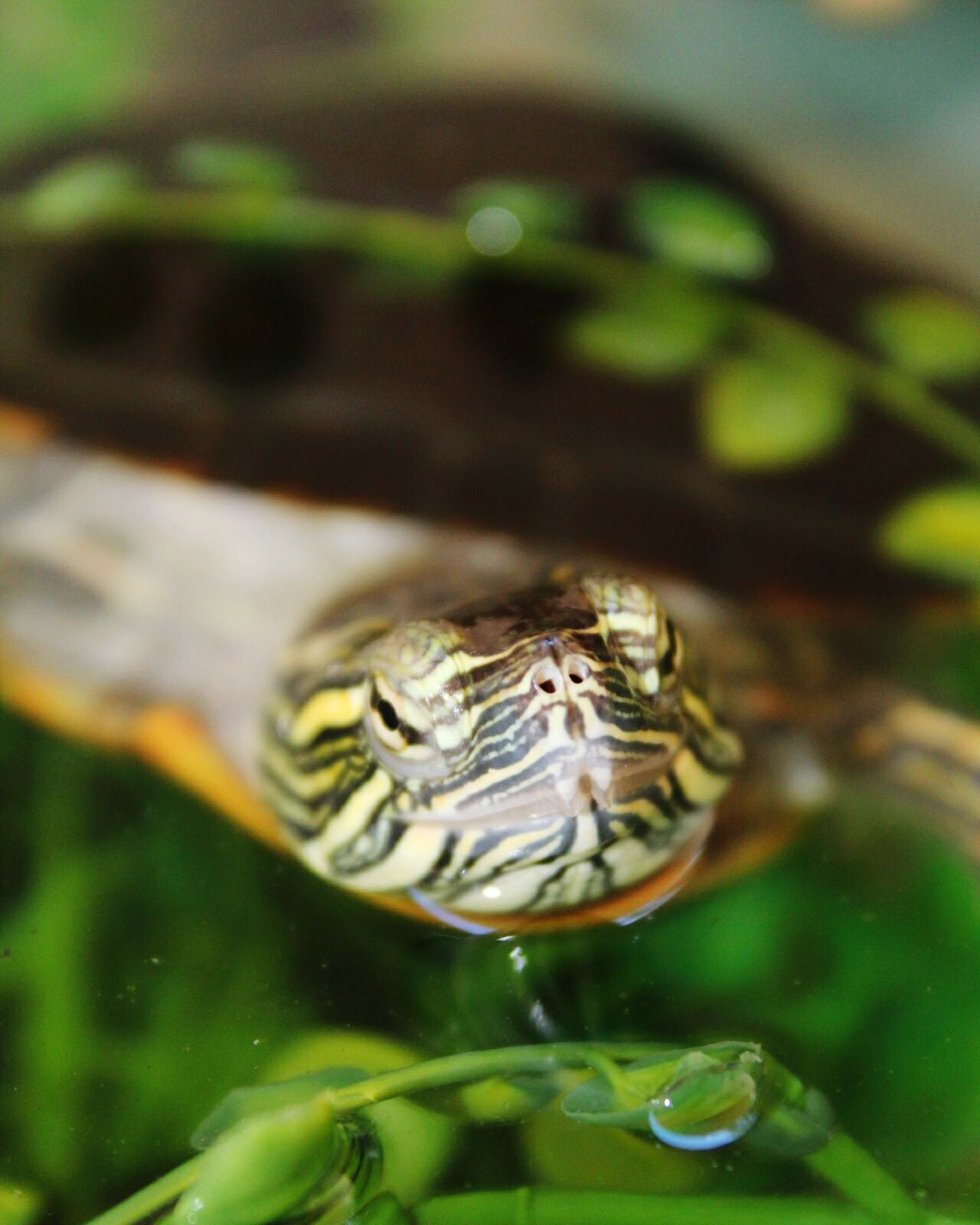 Nich the Western painted turtle 🐢❤ Canon Canon Rebel T6 Water Nature Outdoors Close-up Turtle Western Painted Turtle Painted Turtle Basking Turtle Animals No People California San Diego Beauty In Nature Photography Reptile Wheress0cal Swimming Animal Themes Reptile Photography Reptile World